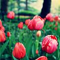 Tulip by Ariane Moshayedi
