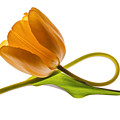 Tulip Art On White Background by Vishwanath Bhat