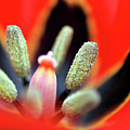 Tulip At Amatzia Forest - 5 by Dubi Roman