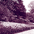 Tulip Beds by Deborah Jackson