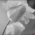 Tulip Black N White by Wendy Fox