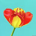 Tulip Burst by Zsuzsanna Rossetter