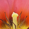 Tulip Center by Michael Peychich