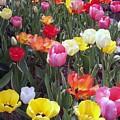 Tulip Color Burst by Donna Cavanaugh