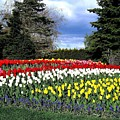 Tulip Country by Will Borden