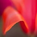 Tulip Crest by Mike Reid