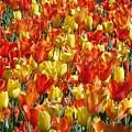 Tulip Delight 1 by Shiana Canatella