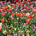 Tulip Delight 2 by Shiana Canatella