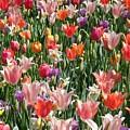 Tulip Delight 4 by Shiana Canatella