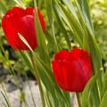 Tulip Duo by Lisa Hebert