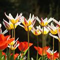 Tulip Field 11 by Rudi Prott