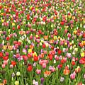 Tulip Field by Garden Gate magazine