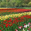 Tulip Fields by Michael Peychich