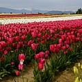Tulip Fields by Sonja Anderson