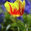 Tulip Flame by Garden Gate magazine