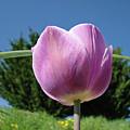 Tulip Flower Landscape Art Print Purple Tulips Baslee by Baslee Troutman