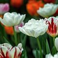Tulip Flowers by Pradeep Raja Prints