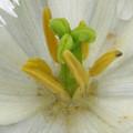 Tulip - Fringed Honeymoon by Pamela Critchlow