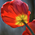 Tulip From Below by Barbara Treaster