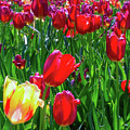 Tulip Garden In Bloom by D Davila