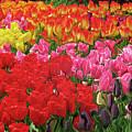 Tulip Garden by Kathy Moll
