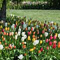 Tulip Gardens by Robert Potts
