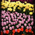 Tulip Greeting Card by Tom Gari Gallery-Three-Photography