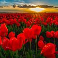 Tulip In Sunset by Hisao Mogi