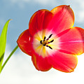Tulip In The Sky by Helen Northcott