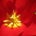 Tulip by Jason Gissler