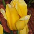 Tulip by Judy  Waller