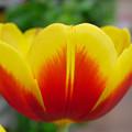 Tulip by Kathy Bucari