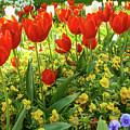 Tulip Lawn On The Flower Island Mainau. Germany. by Gerlya Sunshine