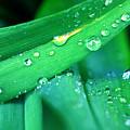 Tulip Leaf Droplets-2 by Steve Somerville