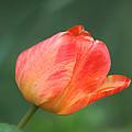 Tulip by Linda Crockett