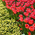 Tulip Line by Ally White