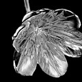 Tulip Liquid Metal by Elaine MacKenzie