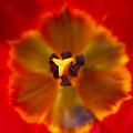 Tulip Macro by Sharon Talson