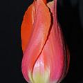 Tulip Model Nr. 1 by Felicia Tica