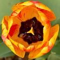 Tulip by Olja Simovic