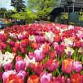 Tulip Parade by Jessica Jenney