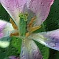 Tulip Passing Beauty by Deborah Benoit