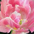 Tulip Peppermint Pink by Regina Geoghan