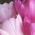 Tulip Petals by Julian Perry