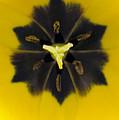 Tulip Pixie by Daniel G Walczyk