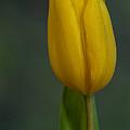 Tulip Portrait by Randy Walton