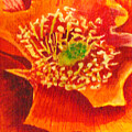 Tulip Prickly Pear by Eric Samuelson