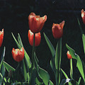 Tulip Red Flair by Tom Wurl