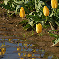 Tulip Reflections by Out West Originals
