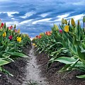 Tulip Rows by Brian Eberly